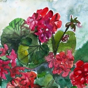 Красная герань | Red geranium